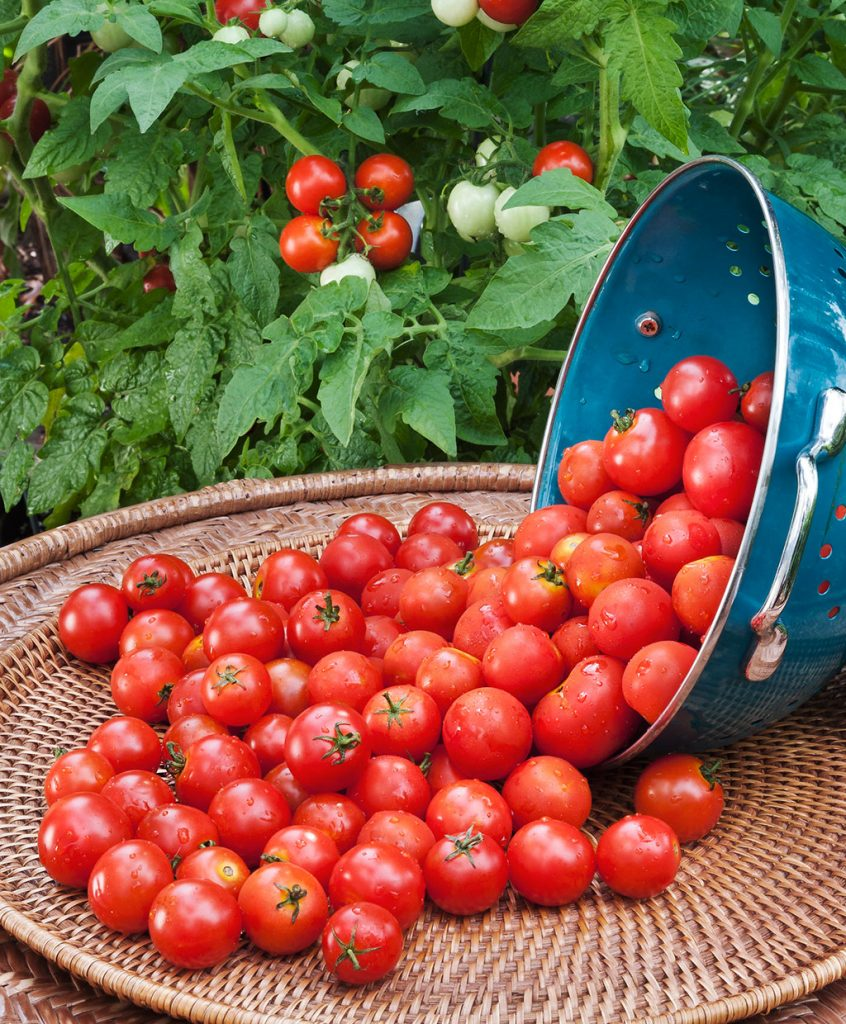 high yield tomato varieties