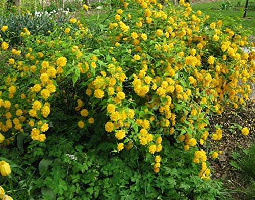 Fast Growing Evergreen Shrubs For Shade