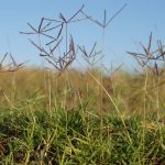 Selective Herbicide For Bermuda Grass