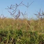 Selective Herbicide For Bermuda Grass
