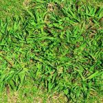 Best Herbicide For Dallisgrass
