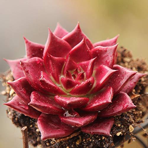 Echeveria Succulent Plant Care