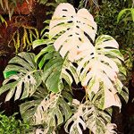 Variegated Monstera Deliciosa (Swiss Cheese Plant) Care 2020 Guide