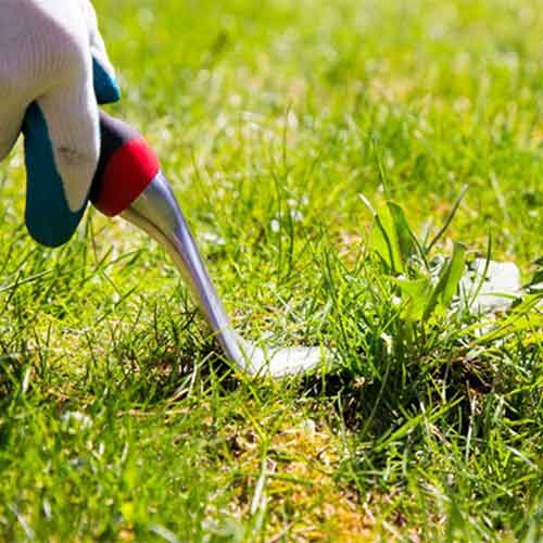 How To Get Rid Of Corn Speedwell In Lawn