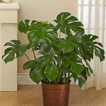 Rhaphidophora Tetrasperma Mini Monstera Care 2020 Guide