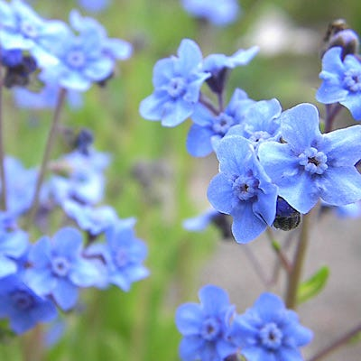 Chinese Forget Me Not: Cynoglossum Amabile