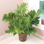Philodendron Hope: Philodendron Selloum Plant Care 2020 Guide