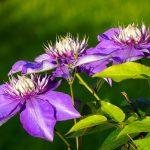 7 Best Fertilizer For Clematis 2020 Guide