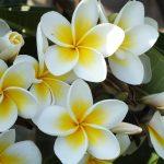 6 Best Fertilizer For Plumeria 2020 [Reviews - Guide]