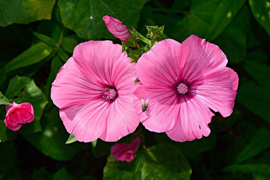 Best Fertilizer For Hibiscus