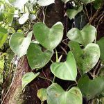 Philodendron Melanochrysum 2020 Ultimate Guide